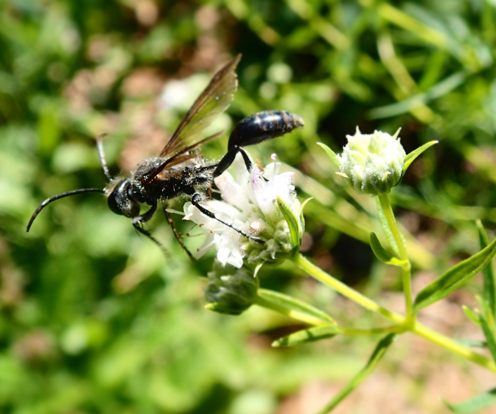Thread-waisted Wasp on Mountain Mint