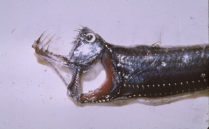 Head of viperfish with jaw open (Western Marine Lab)