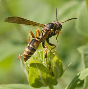 Paper Wasp (photo by Mike Farrell)