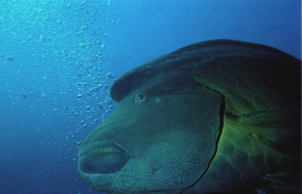 Napoleon Wrasse, Red Sea, Egypt (Jane Ball) The Napoleon Wrasse is also called the Humphead Wrasse. This fish can get up to 6 ft and weigh 400lbs. Males have a large bulge on its forehead. Napoleon Wrasse can live up to 30 years.