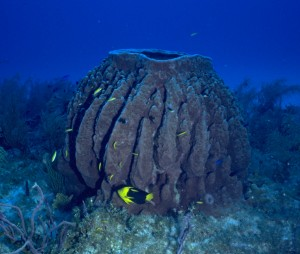 Barrel Sponge (Jane Ball)