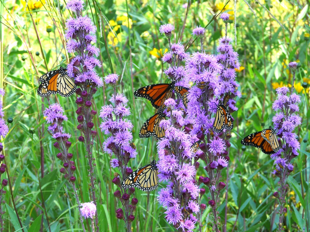 Migrating Monarch on Liatris.