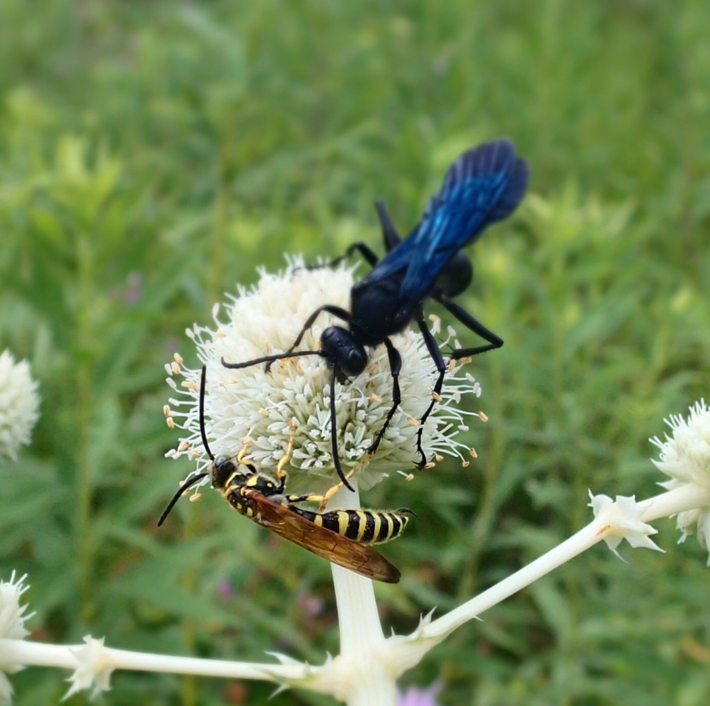 Tiphiid Wasp and Great Black Wasp on Rattlesnake Master