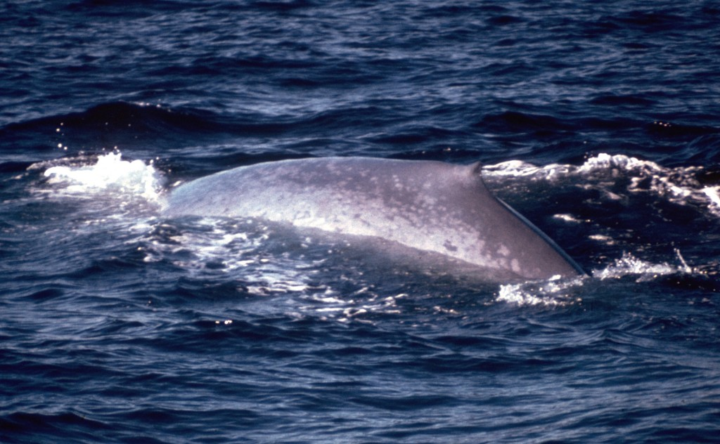 Blue Whale Surfacing, Monterey Bay, CA.  (L. Wade)