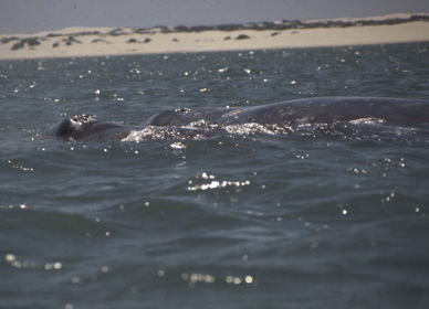 Gray Whale cow and calf, Scammon's Lagoon, Baja California (L. Wade)