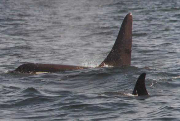 Orca bull, with female in foreground, Puget Sound, WA (Wade)