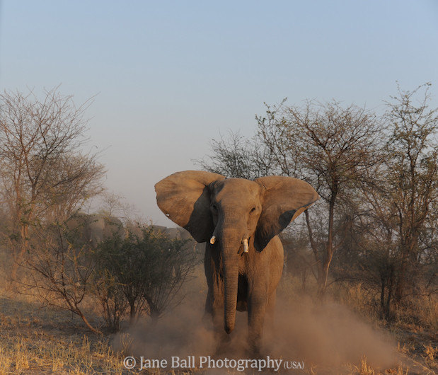 The elephant charged and stopped abruptly in front of us.