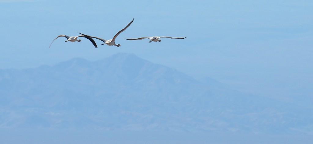 Flamingos in Flight, Atacama Desert Photograph by Robin Sanislo.