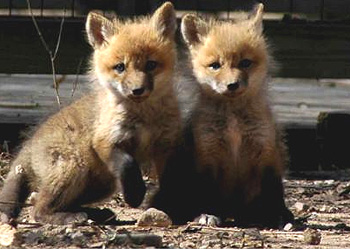 Fox pups photo by Steve Gordon