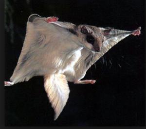 A flying Squirrel gliding