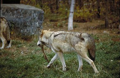 WolfAlliWade