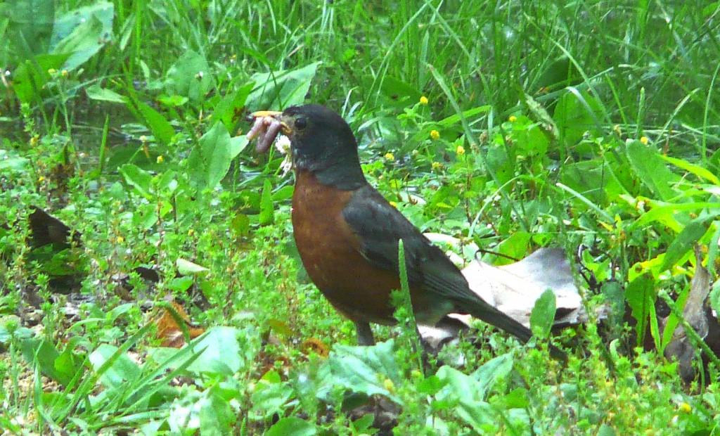 Robin:Worm