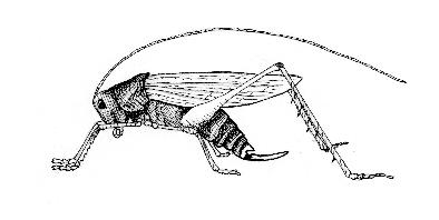 Long horned Grasshopper