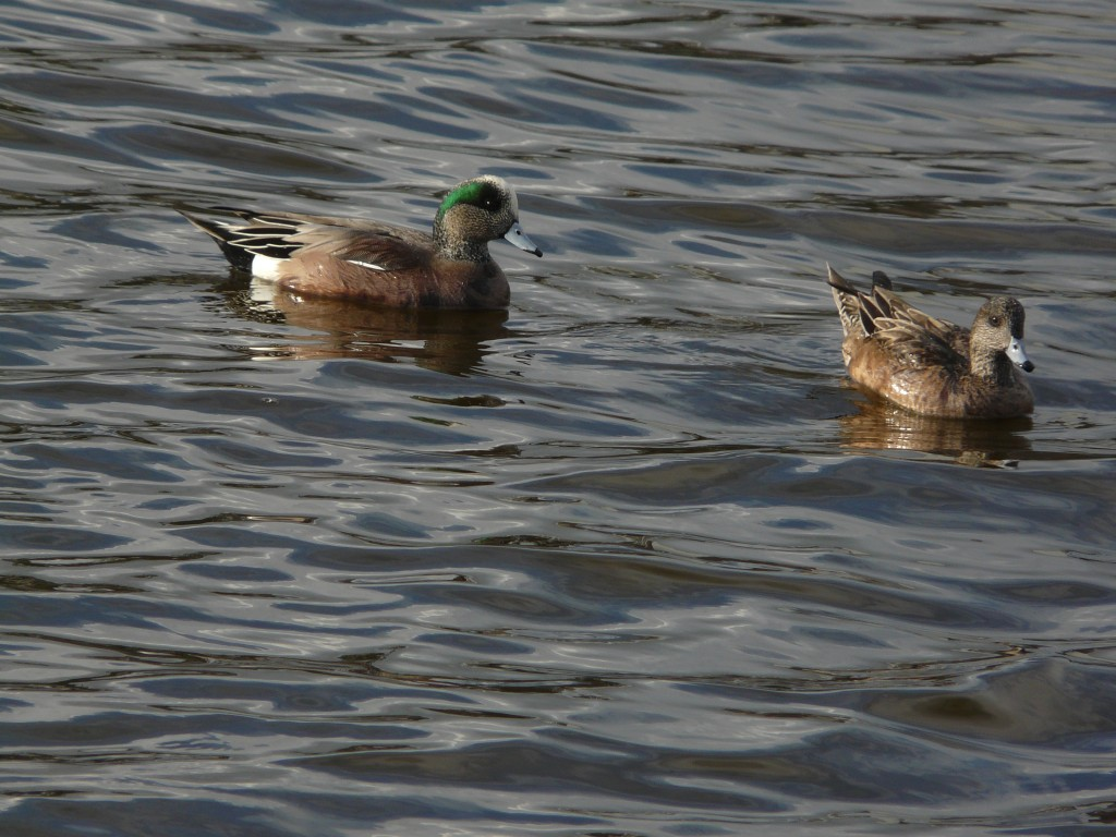 Green Wing Teal - Wade