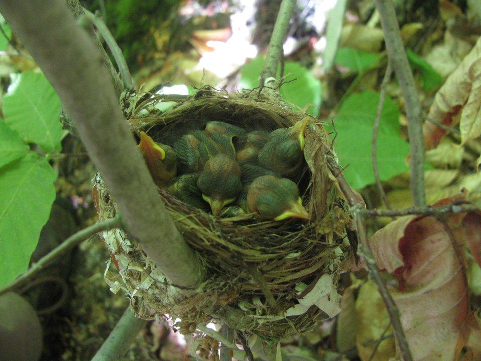 Day6_BTBW_Nestlings