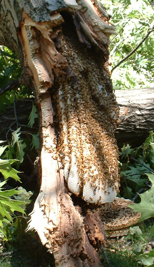 honeycomb:bees