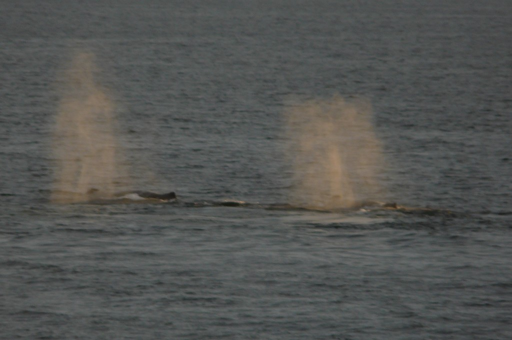 "Humpback ""blows"" at Sunset"