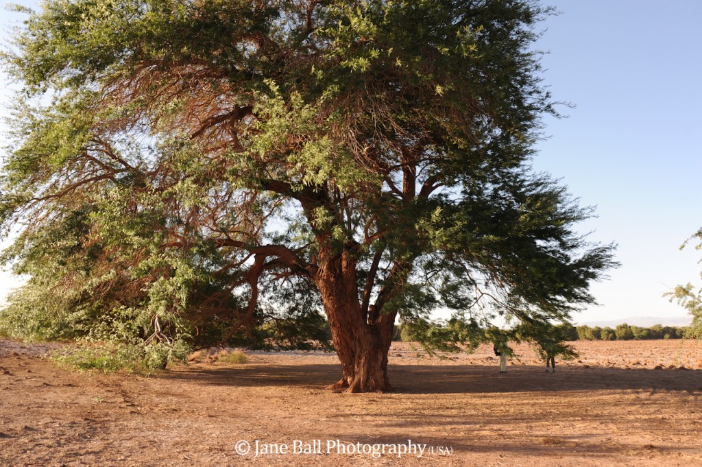 Carob Tree Photo by Jane Ball