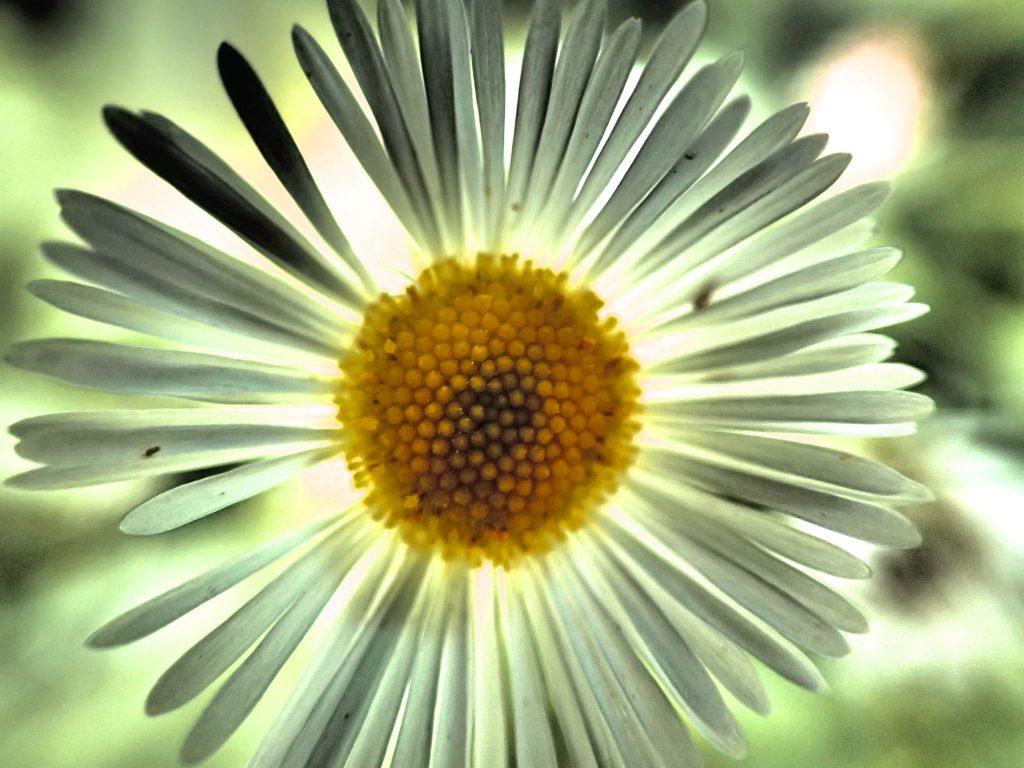 Fleabane Flowers