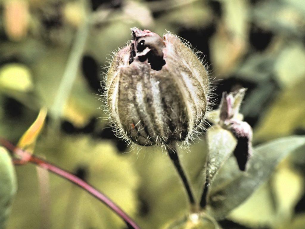 Seedpod