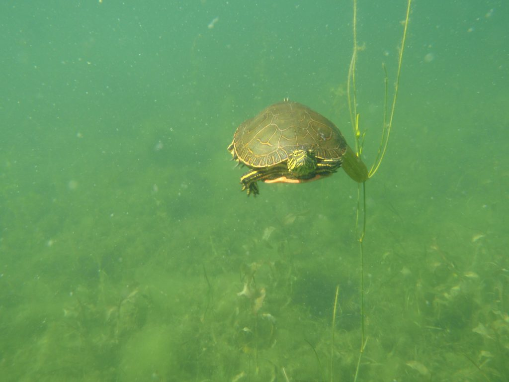 This painted turtle swam right up to me. I thought it was going to bite my nose.