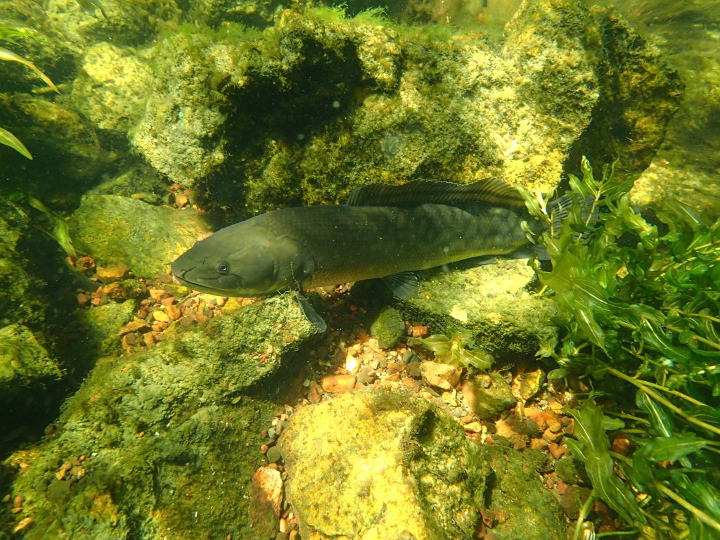 Bowfin or dogfish, a bottom feeder. Primitive, creepy and beautiful.
