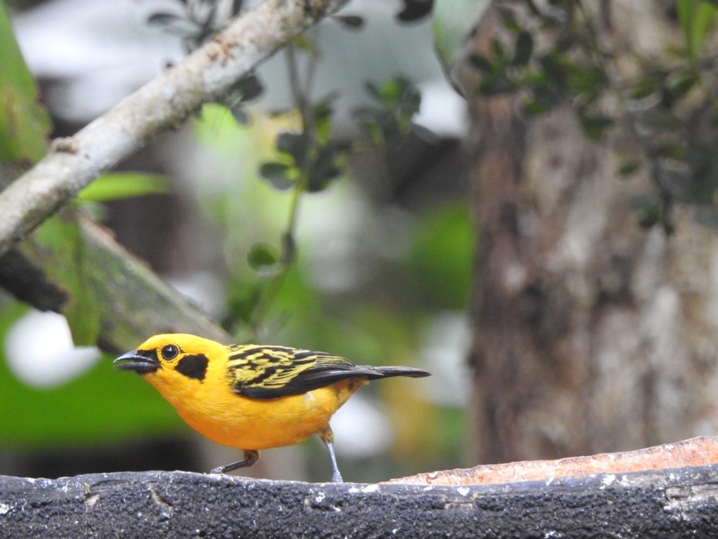 Golden Tanager Photo by Lucia Pilco